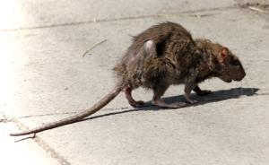 Feral Rat